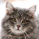 Обморожение у кошек: симптомы и лечение