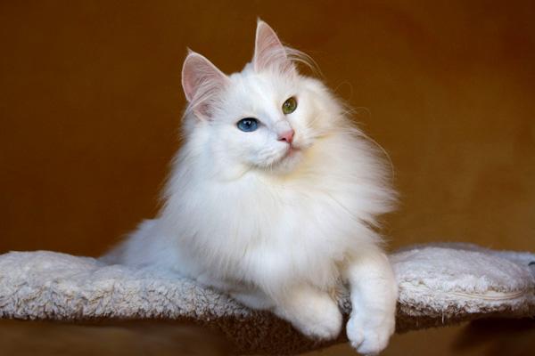 кошка ангорская фото